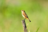 黑喉鴝Common Stonechat  :DSC_9429.JPG