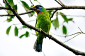 五色鳥  Muller's Barbet   :DSC_3672.JPG