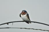 家燕  Barn Swallow   :DSC_4613.JPG