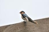 洋燕  Pacific Swallow   :DSC_7114.JPG