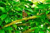 棕耳鵯Chestnut-eared Bulbul :DSC_7340.JPG