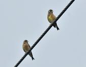 金翅雀  Oriental Greenfinch     :DSC_5333.JPG