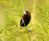 黑頭文鳥:DSC_5212.JPG
