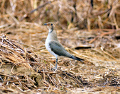 燕鴴 Large Indian Pratincole :DSC_2551.JPG