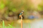 翠鳥  Common Kingfisher       :DSC_6018.JPG