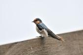 洋燕  Pacific Swallow   :DSC_7115.JPG
