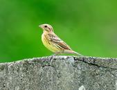 金鵐 Yellow-breasted Bunting  :DSC_6392.JPG