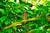 棕耳鵯Chestnut-eared Bulbul :DSC_7346.JPG
