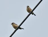金翅雀  Oriental Greenfinch     :DSC_5348.JPG