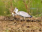 蒼鷺 Grey Heron     :DSC_5759.JPG