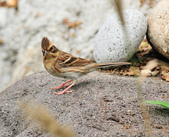 黃喉鵐  Yellow-throated Bunting:DSC_2560.JPG