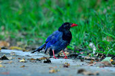 台灣藍鵲  Taiwan Blue Magpie :DSC_2320.JPG