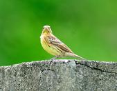金鵐 Yellow-breasted Bunting  :DSC_6407.JPG