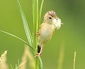 關渡之黃頭扇尾鶯:DSC_0417.JPG