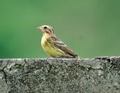 金鵐 Yellow-breasted Bunting  :DSC_6544.JPG