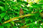 棕耳鵯Chestnut-eared Bulbul :DSC_7344.JPG