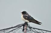 家燕  Barn Swallow   :DSC_4614.JPG