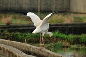 白鶴  Siberian Crane :DSC_0056.JPG