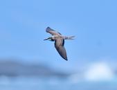 白眉燕鷗Bridled Tern :DSC_0364.JPG