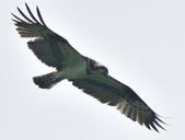 魚鷹 Osprey   :DSC_4196.JPG