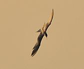 鳳頭燕鷗:DSC_6468.JPG