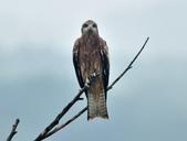 老鷹   Black kite :DSC_1412.JPG