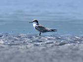 小燕鷗  Little Tern  :DSC_4337.JPG