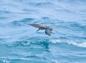 白眉燕鷗Bridled Tern :DSC_0373.JPG