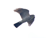 日本松雀鷹Japanese Lesser Sparrow Hawk :DSC_9185.JPG