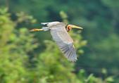 紫鷺     Purple Heron:DSC_0932.JPG