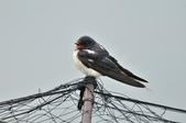 家燕  Barn Swallow   :DSC_4615.JPG
