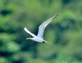 鳳頭燕鷗  Greater Crested Tern :DSC_9002.JPG