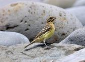 金鵐 Yellow-breasted Bunting  :DSC_6793.JPG
