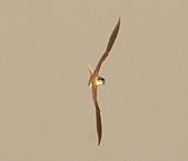 白眉燕鷗:DSC_6741.JPG