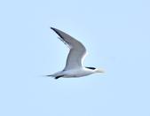 鳳頭燕鷗  Greater Crested Tern :DSC_9033.JPG