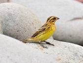 金鵐 Yellow-breasted Bunting  :DSC_7191.JPG