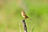黑喉鴝Common Stonechat  :DSC_9423.JPG