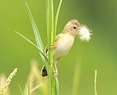 關渡之黃頭扇尾鶯:DSC_0418.JPG