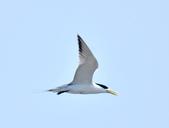 鳳頭燕鷗  Greater Crested Tern :DSC_9039.JPG