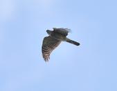 北雀鷹  Northern Sparrow Hawk  :DSC_6157.JPG