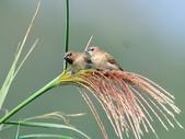 斑文鳥 Nutmeg Mannikin :DSC_6025.JPG