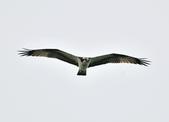 魚鷹 Osprey      :DSC_0267.JPG