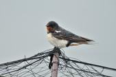 家燕  Barn Swallow   :DSC_4616.JPG