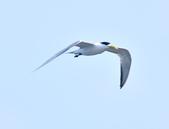 鳳頭燕鷗  Greater Crested Tern :DSC_9043.JPG