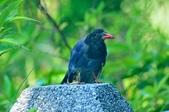 台灣藍鵲  Taiwan Blue Magpie :DSC_2337.JPG