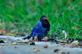 台灣藍鵲  Taiwan Blue Magpie :DSC_2327.JPG