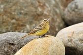 金鵐 Yellow-breasted Bunting  :DSC_7221.JPG