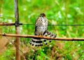 松雀鷹Besra sparrow hawk :DSC_1437.JPG