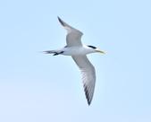 鳳頭燕鷗  Greater Crested Tern :DSC_9046.JPG