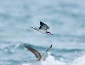 白眉燕鷗Bridled Tern :DSC_0456.JPG